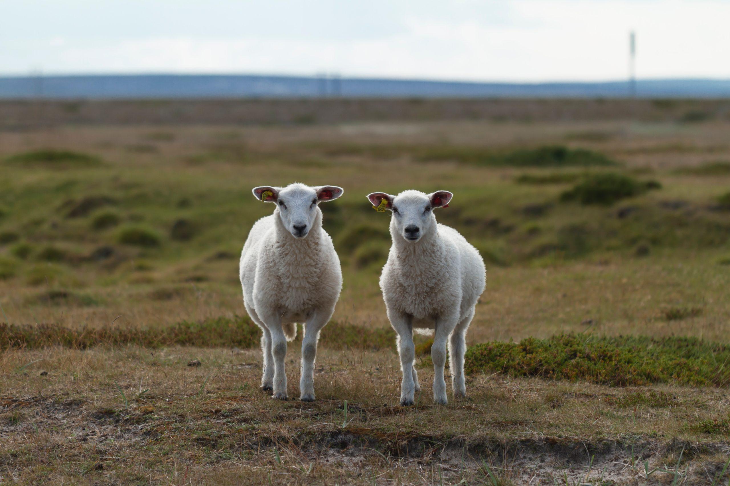 Cultural Christianity vs. Biblical Christianity, sheep vs. goats, 2 Corinthians 13:5